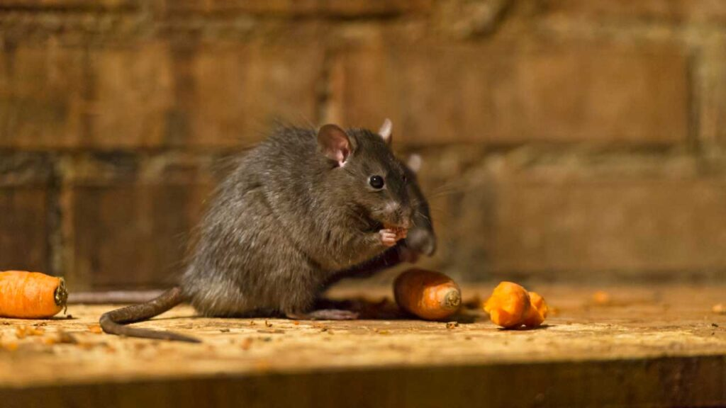 Rodent Control Abu Dhabi