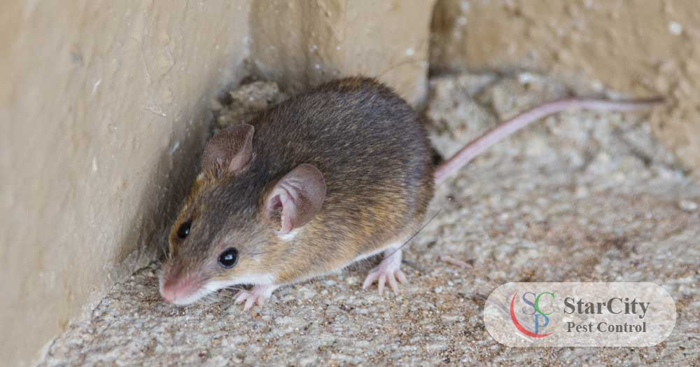 Rodent Control Service in Abu Dhabi